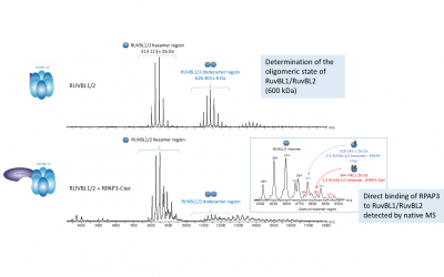 Native MS for the determination of R2TP subcomplexes stoichiometries