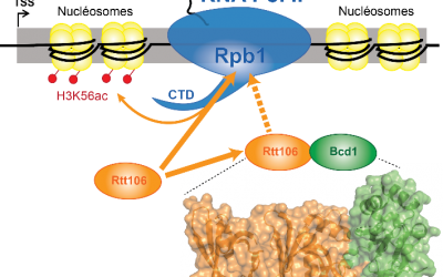 The box C/D snoRNP assembly factor Bcd1 interacts with the histone chaperone Rtt106 and controls its transcription dependent activity